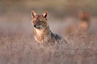 The golden jackal (Canis aureus)