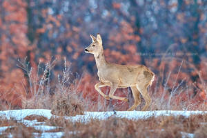 The European roe deer (Capreolus capreolus)