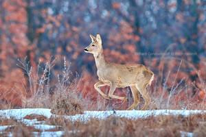 The European roe deer (Capreolus capreolus) by RichardConstantinoff