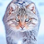 European wildcat (Felis silvestris) by RichardConstantinoff