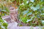 The little owl - Athene noctua