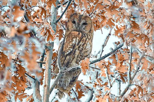 Tawny owl or brown owl (Strix aluco)