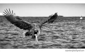 Sea Eagle Black and White