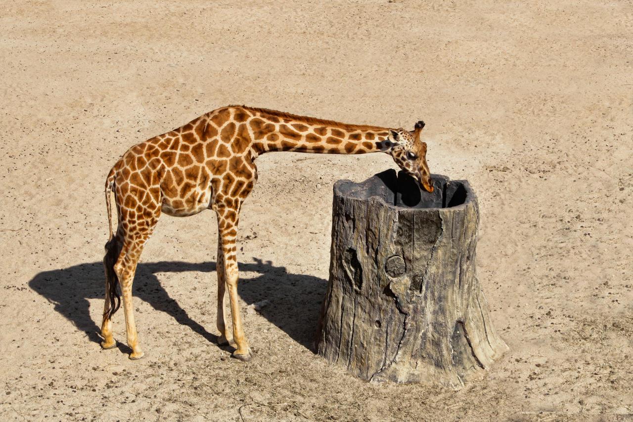 The gallery for --> Baby Pygmy Giraffe