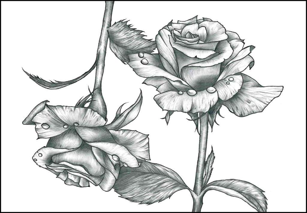 Roses by Kyla-Nichole