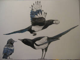 Eurasian Magpies by Oddity-1991
