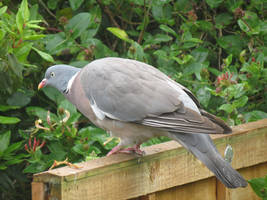 Wood Pigeon by Oddity-1991