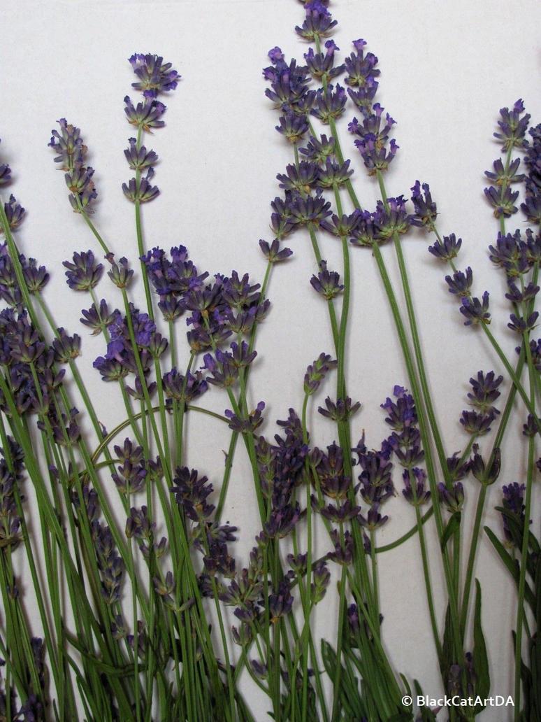 Lavender ready to dry  by BlackCatArtDA