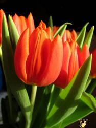 Sunny tulips  by BlackCatArtDA
