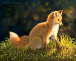 Fox in the evening