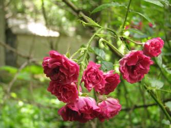 Sad roses by JessaMar