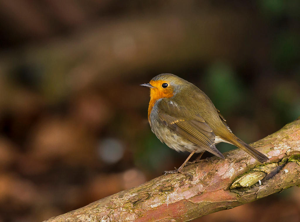 Robin 05 by NellyGrace3103