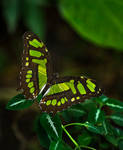 Butterfly Stock 07