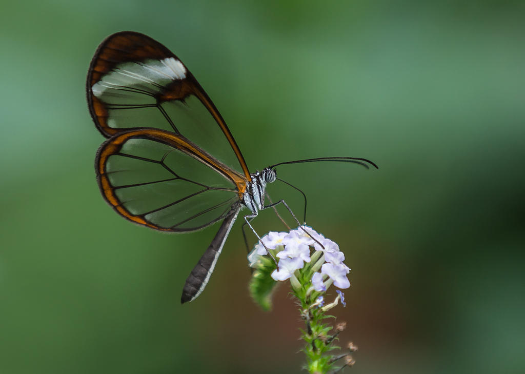 Butterfly Stock 23 by NellyGraceNG