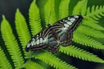 Butterfly Stock 24