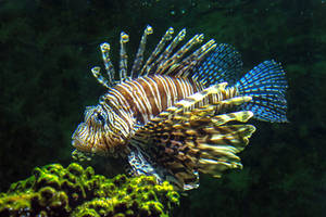 Lion Fish 03 by NellyGraceNG