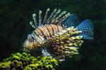 Lion Fish 03