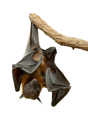 Flying Fox 05 PNG by NellyGraceNG