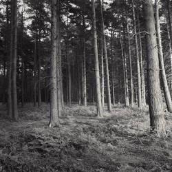 The Pines by davidsevern