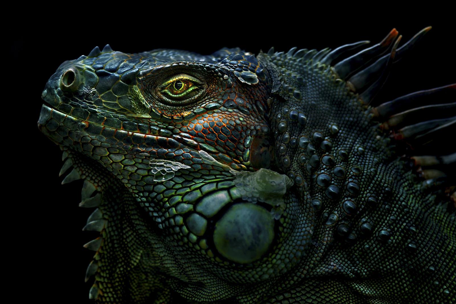 Iguana (5) by duzulek