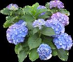 Hydrangea macrophylla 2