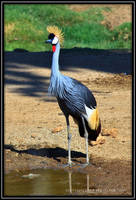 East African Crowned Crane-2 by Mac-Wiz