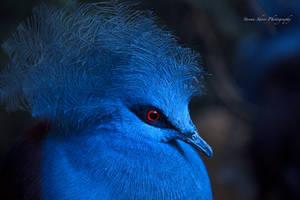 Blue Crowned Pigeon by Mac-Wiz