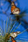 Monarch Butterflies 3