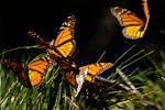 Monarch Butterflies 5