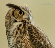 Great Horned Owl by Mac-Wiz
