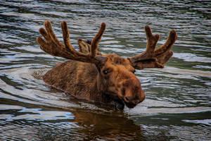 Moose by Mac-Wiz