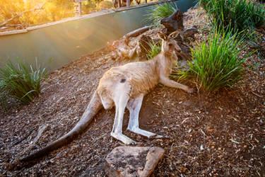 Sun Baked Kangeroo by Mac-Wiz