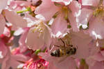 Cherry Blossom and the Bee by Mac-Wiz