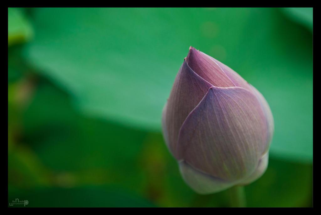 Lotus by benredep