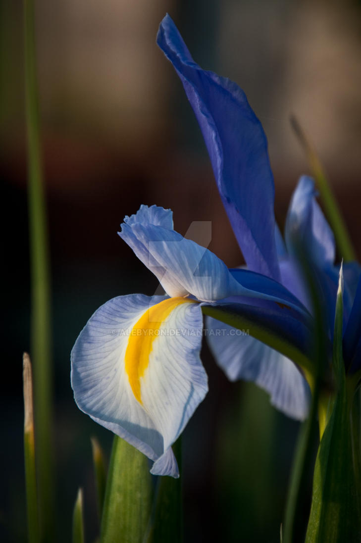 Iris by alebyron
