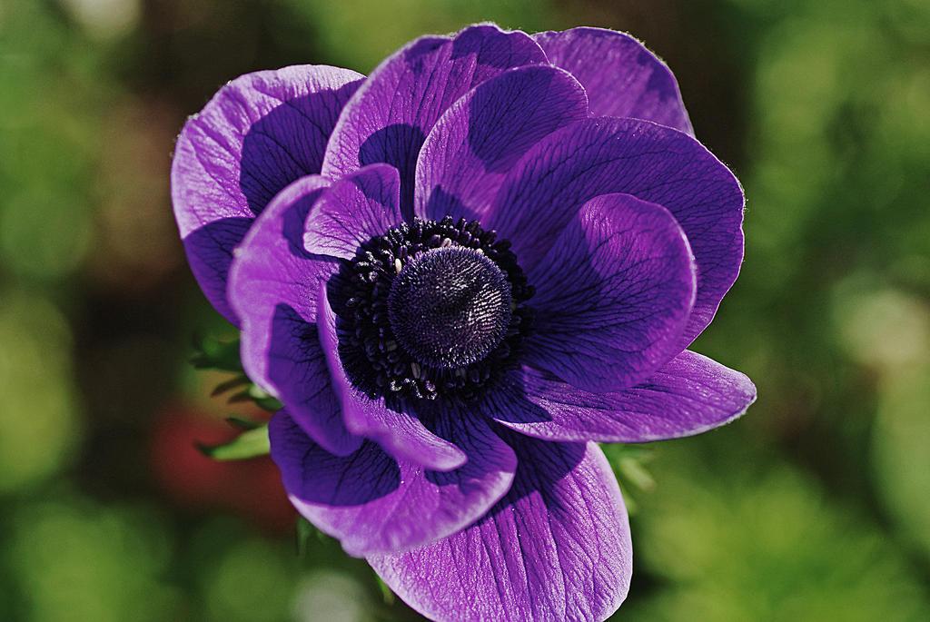 purple poppy by chinotenshi on deviantart