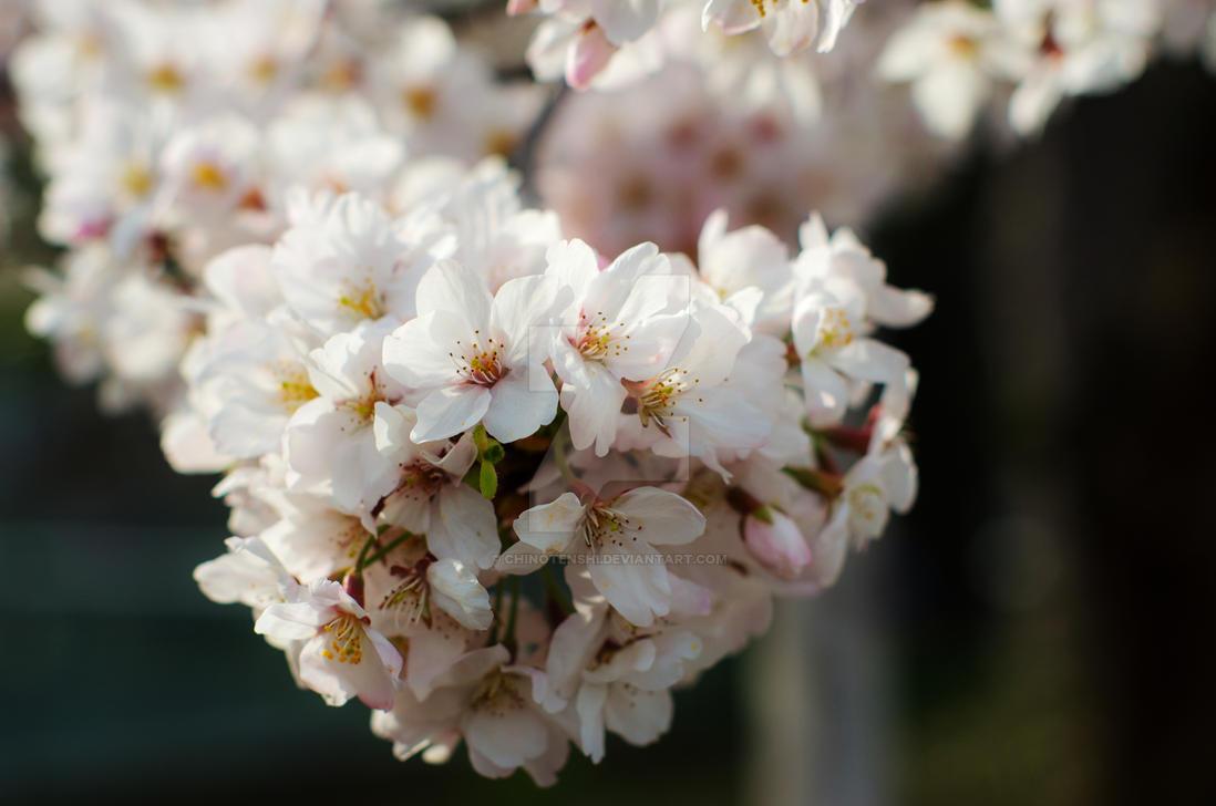 Sakura by chinotenshi