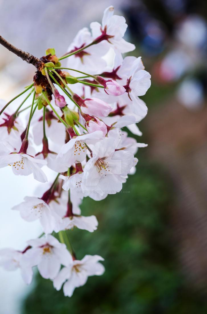 Dangling Blossoms by chinotenshi