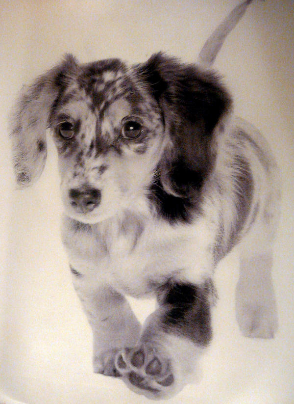 Dapple Dachshund Puppy by ~xx-ashley on deviantART