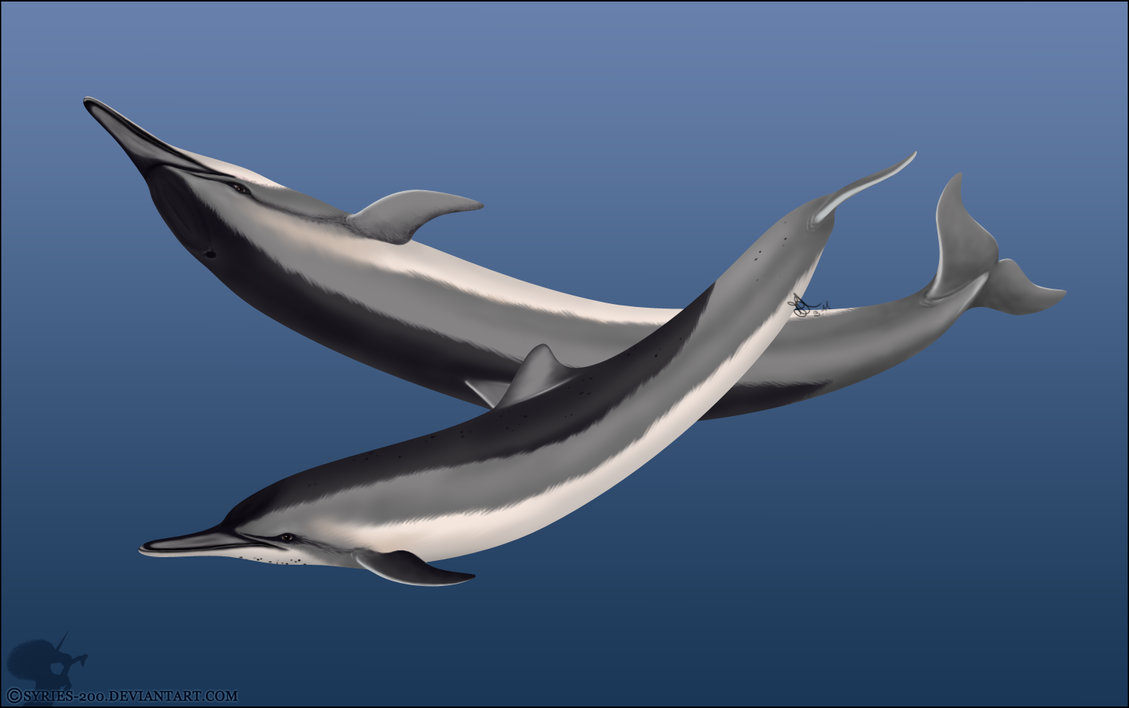 Spinner dolphin drawing