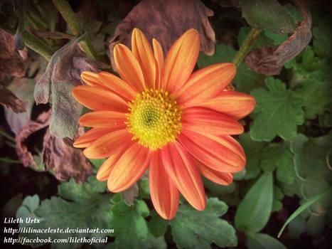 31 Sun flower