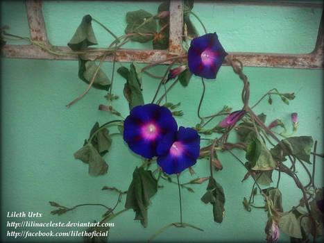 32 Blue Bells