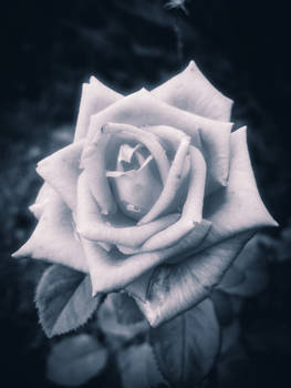 Ethereal Rose