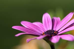 Purpled... by olilamont