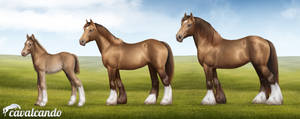 Gypsy Vanner. Stages of growth