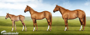 American Quarter Horse. Stages of growth