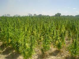 Cannabis Sativa by JAIMEJOSE