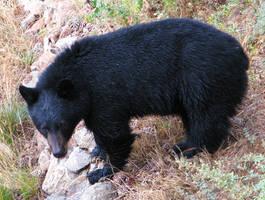 Black Bear Full Body by Techdrakonic