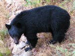 Black Bear Full Body