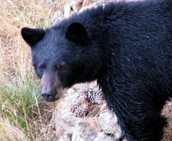 Black Bear Close-up by Techdrakonic